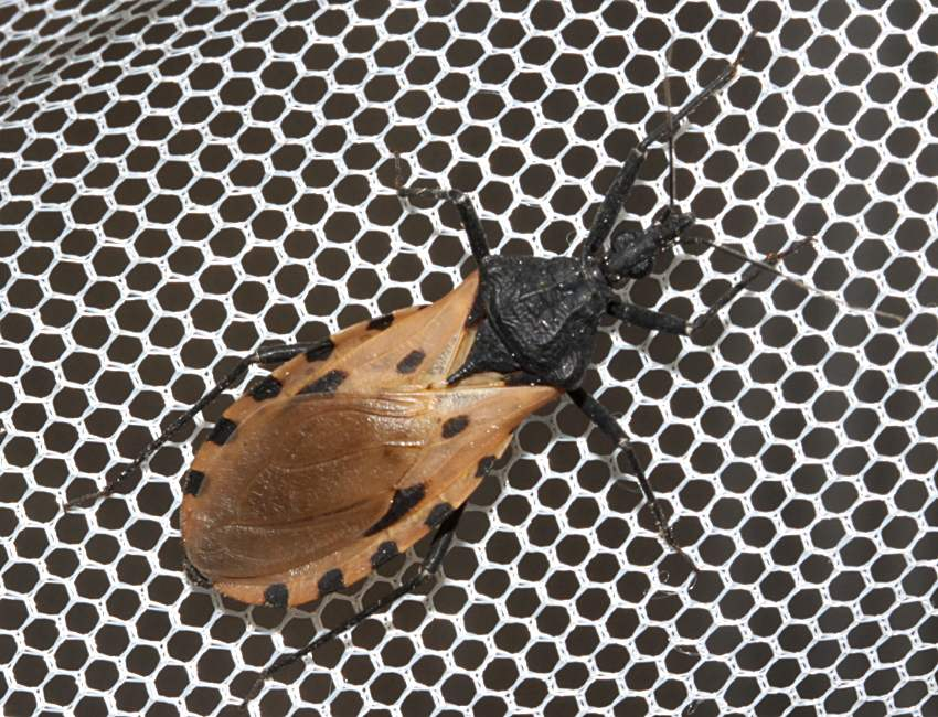 kissing bug. (87K), kissing bug