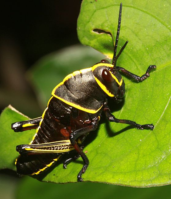 The Latin word  eques  means  horse   and was given to this species because  the yellow marks on its head make it. Bugs of Belize