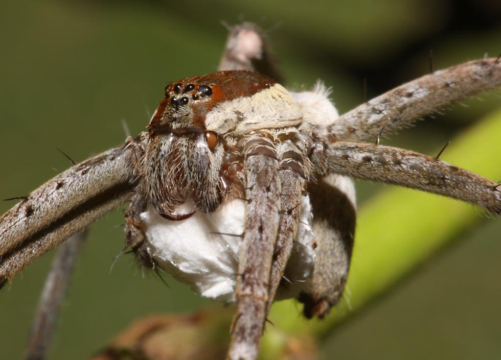 Scariest looking spider - photo#16