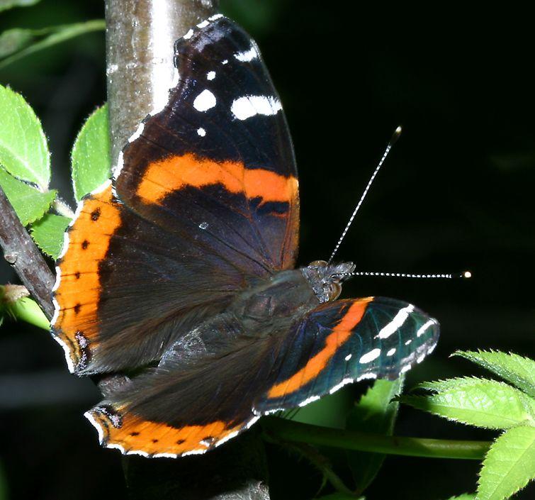 Butterflies Of Northern Illinois