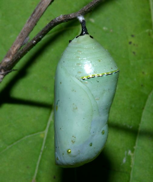 All of Nature: Monarch Butterfly Emerging From Chrysalis