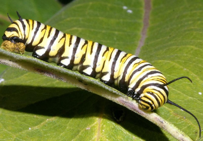 The Monarch Caterpillar