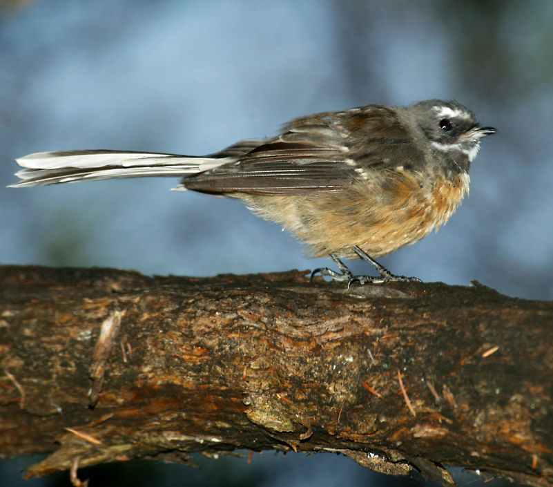 Here's one of the most well known and liked New Zealand birds, the fantail.