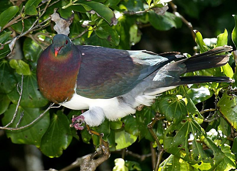 Common Birds of the New Zealand Forest