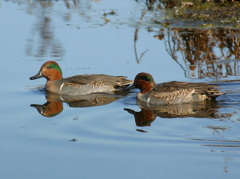 green-winged teals are some of the fastest ducks, flying in tight flocks