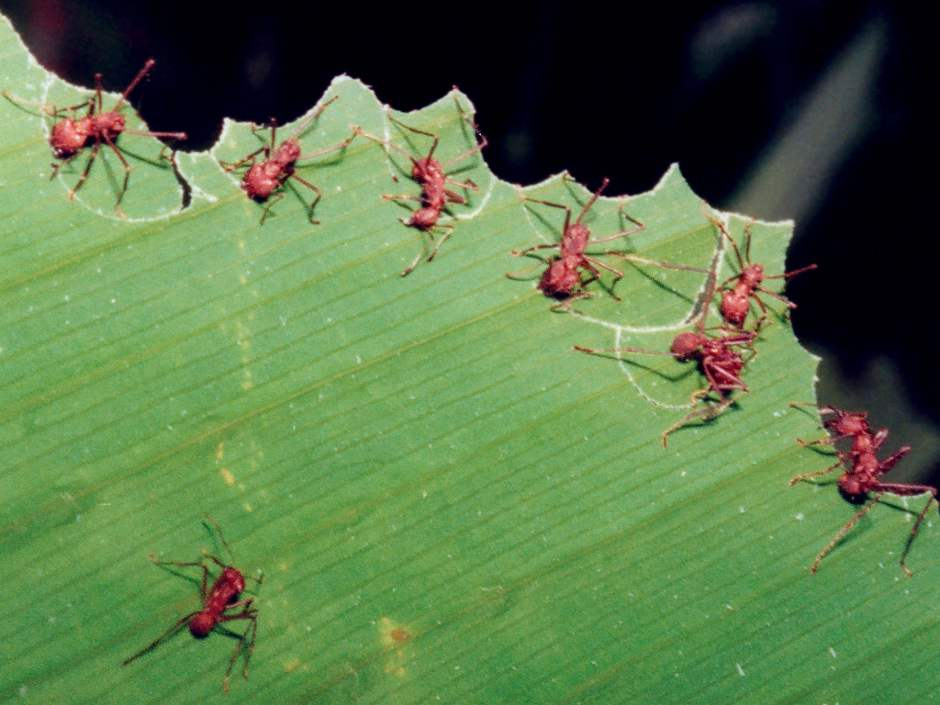 Leafcutter Ants in Costa Rica