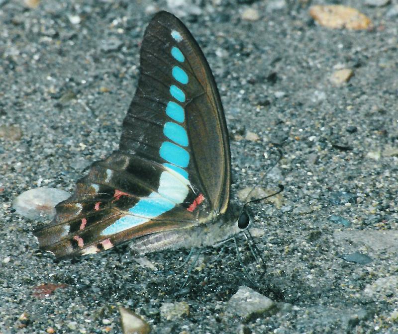 Japanese Butterflies