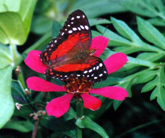 red butterfly account