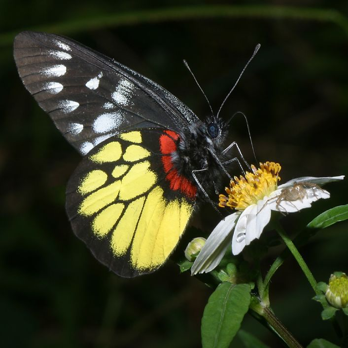 Black And Red Butterfly Species