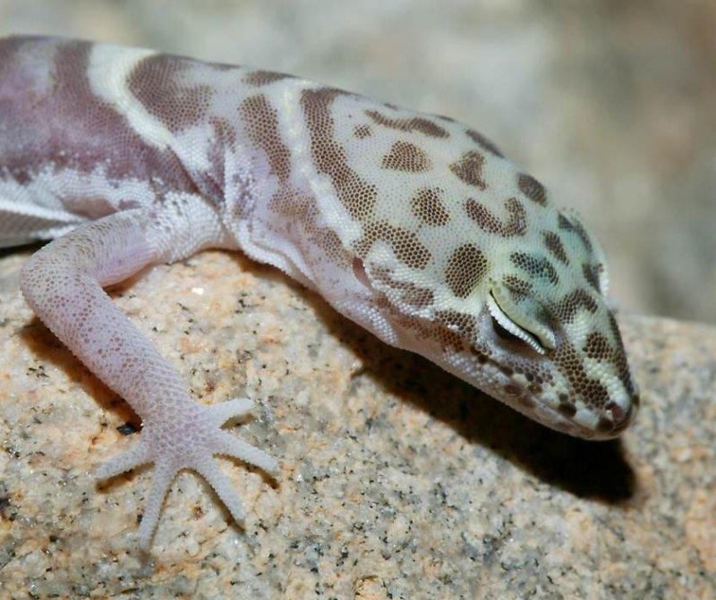 Reptiles of California's Coachella Valley