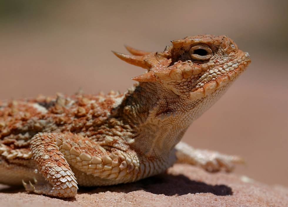 Nature Can Do That Horned Lizard