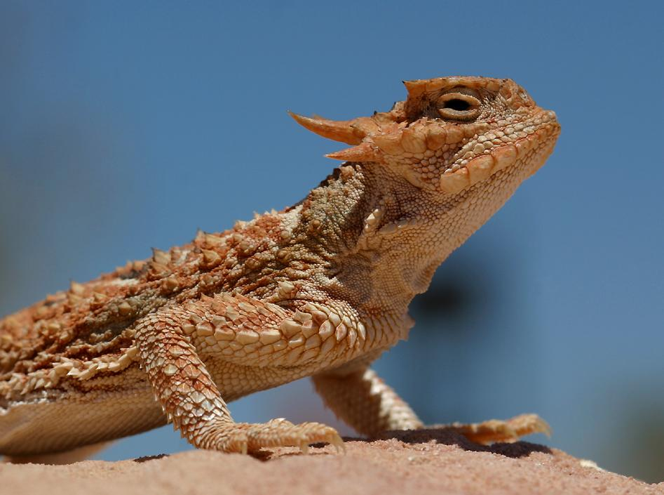 Lizards of Nevada's Valley of Fire