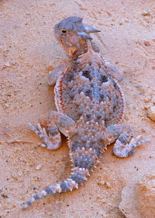 Lizards Of Nevada S Valley Of Fire