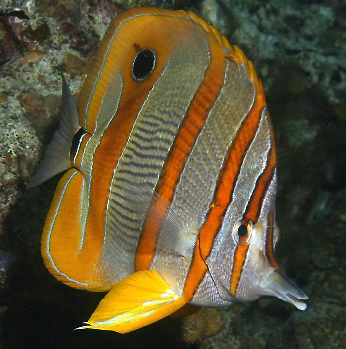 http://www.richard-seaman.com/Travel/Malaysia/Wildlife/LongBeakedCoralfish08.jpg