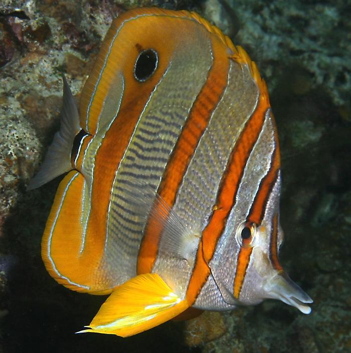 http://www.richard-seaman.com/Travel/Malaysia/Wildlife/LongBeakedCoralfish08.jpg