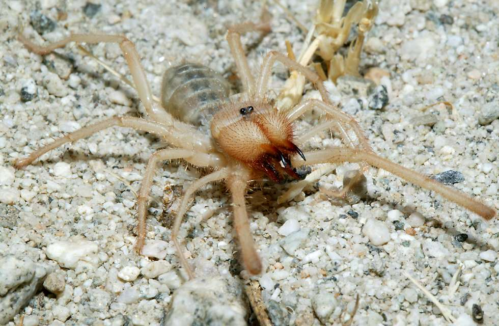 Sand scorpion spider - photo#6