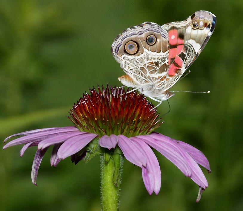 Resmin Adı : Kelebek.  Paylaş.