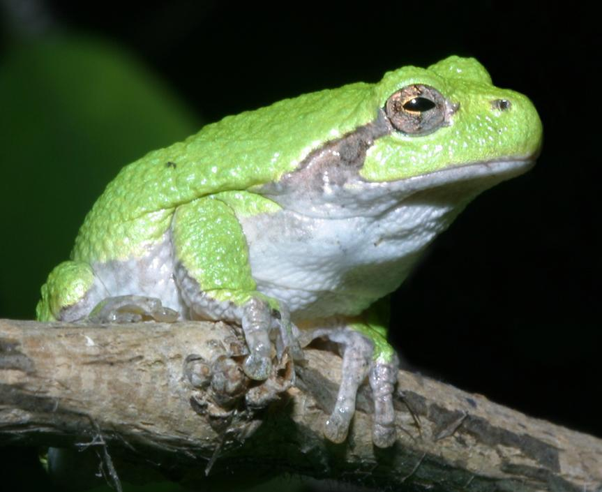 Gray tree frog - photo#15