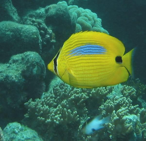 blue-blotch butterflyfish (Chaetodon plebeius)