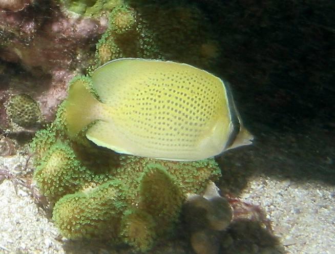 Citron butterflyfish  (Chaetodon citrinellus)