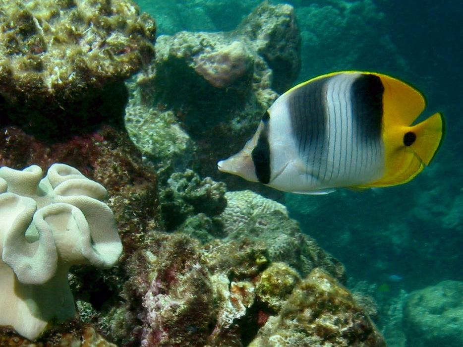 Pacific double-saddle butterflyfish (Chaetodon ulietensis) - click here to open a new window with this photo in computer wallpaper format
