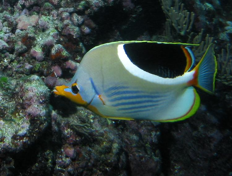 Saddleback or saddled butterflyfish (Chaetodon ephippium)