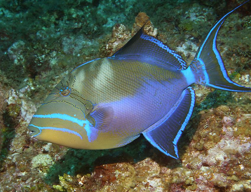 Queen Triggerfish Teeth The queen triggerfish