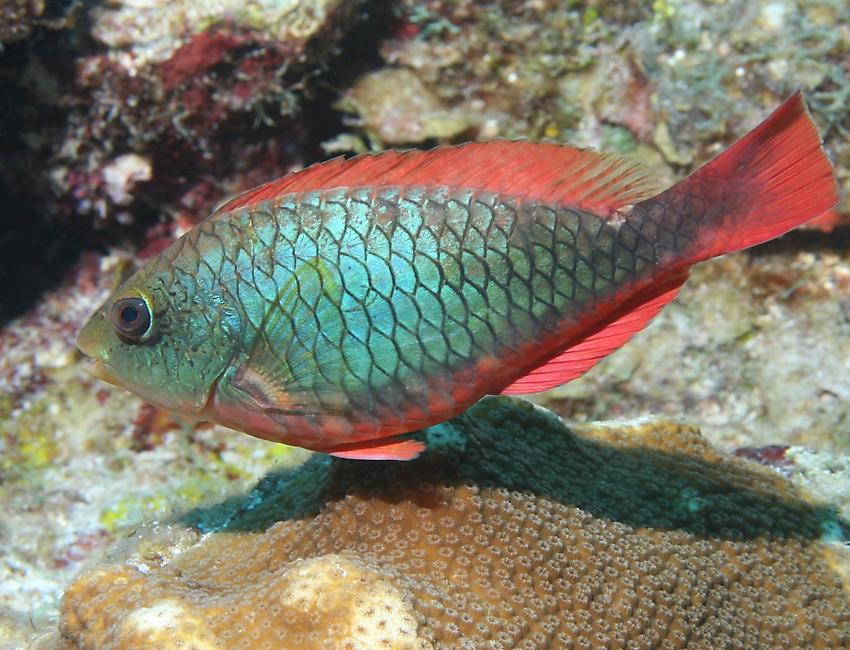 Red parrot fish for Pictures of parrot fish