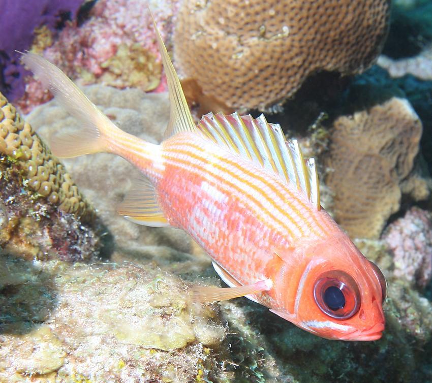 Underwater highlights of belize for Big eye squirrel fish