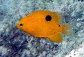 Three spot damselfish - photo#4