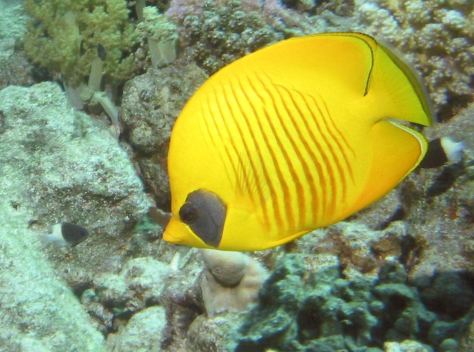 http://www.richard-seaman.com/Underwater/Egypt/Butterflyfishes/BlueCheekButterflyfish.jpg