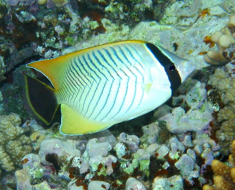 chevron butterflyfish  (Chaetodon trifascialis)