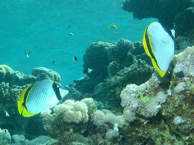 lined butterflyfishes (Chaetodon lineolatus)