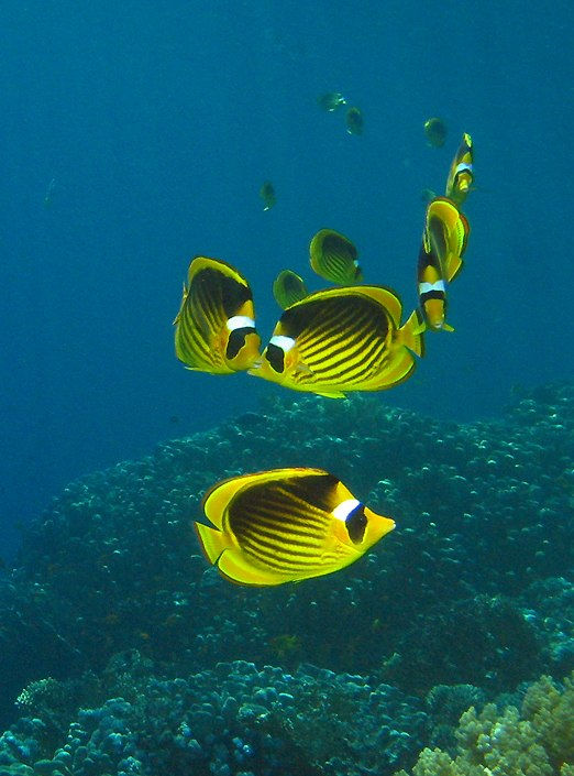 click here to go to a wallpaper-sized photo of these Red Sea raccoon butterflyfishes  (Chaetodon fasciatus)