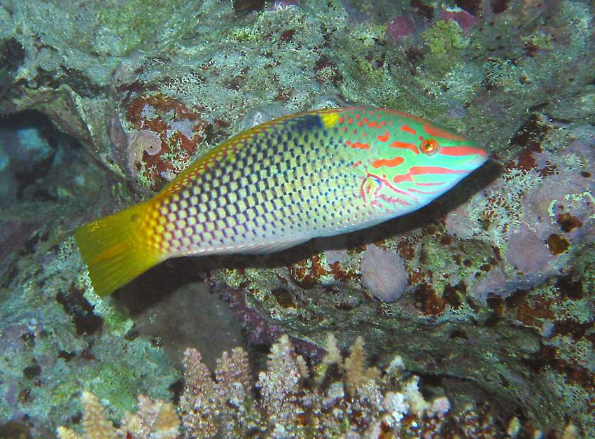 checkerboard wrasse   (click here to open a new window with this photo in computer wallpaper format)