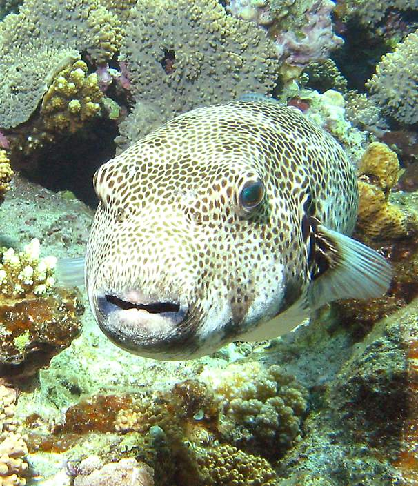 Large fish eats puffer fish beach wallpapers for Giant puffer fish