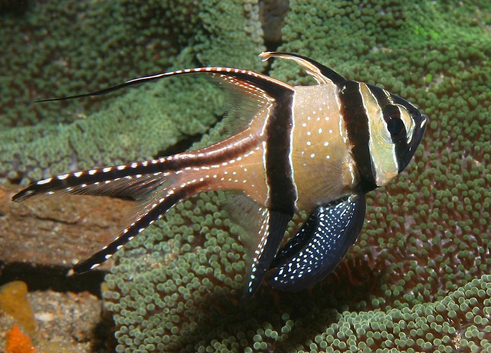 BanggaiCardinalfish08.jpg
