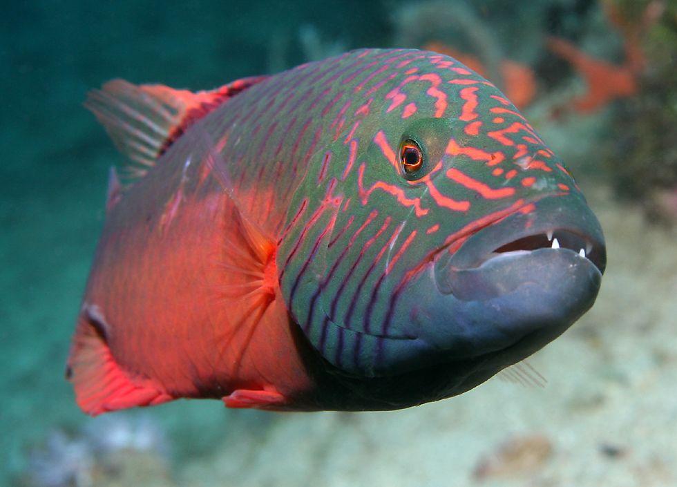 Types of Wrasse Fish