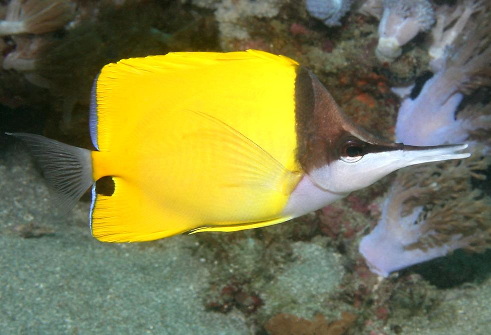 Longnose butterfly fish the image kid for Big nose fish