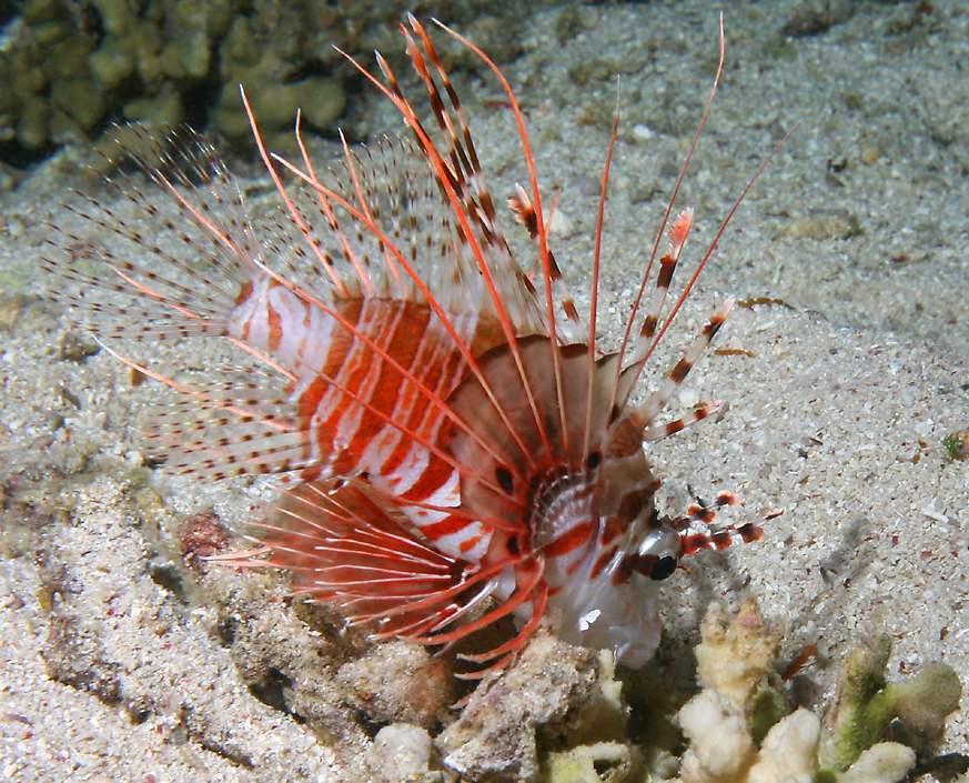 Lionfish Prey