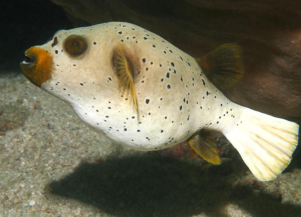 Underwater highlights of thailand for How much is a puffer fish