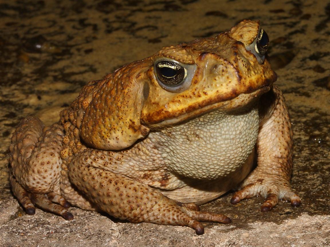 Amphibians Toads river toad