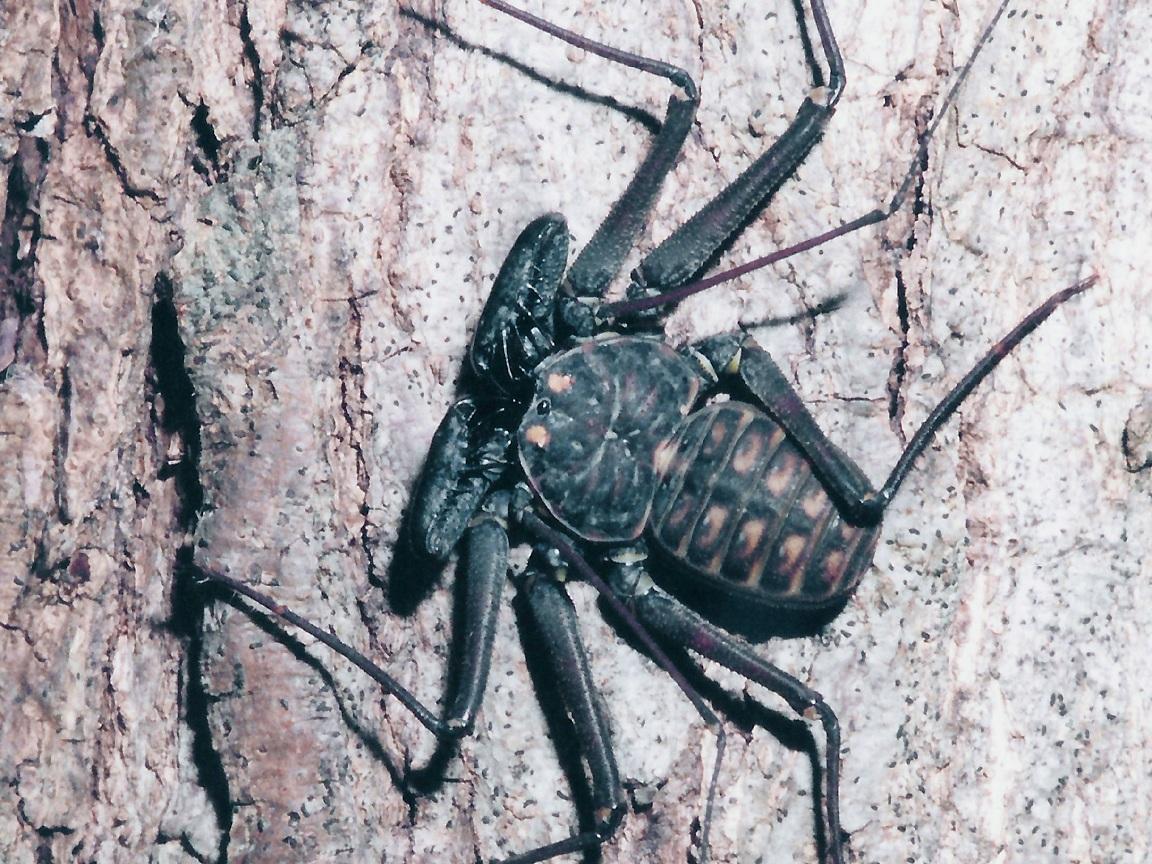 Whip spider. Thank you to Richard Seaman