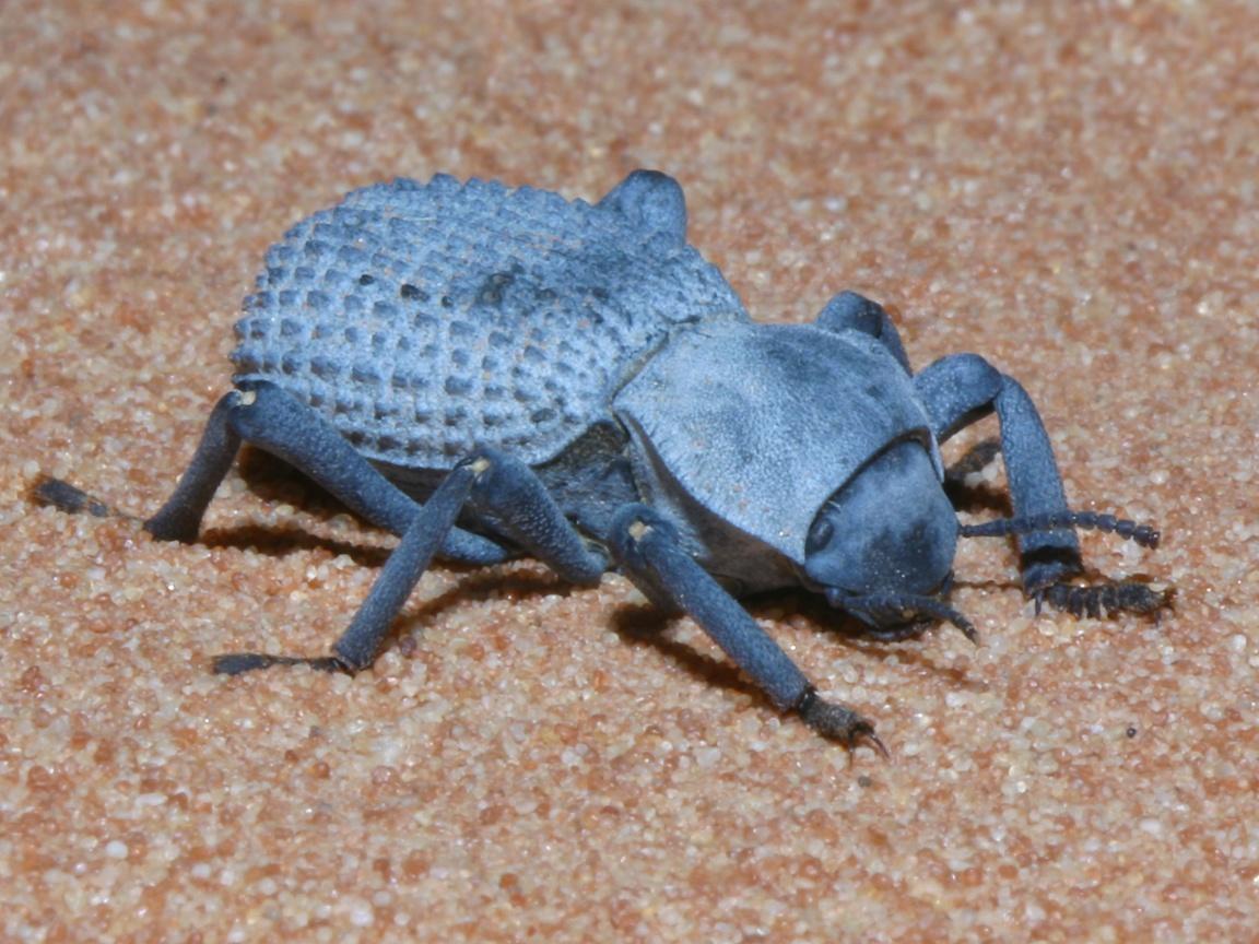 Blue Death Powder Bed Bugs