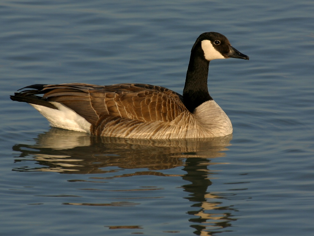 Goose-Wallpaper-On-Desktop