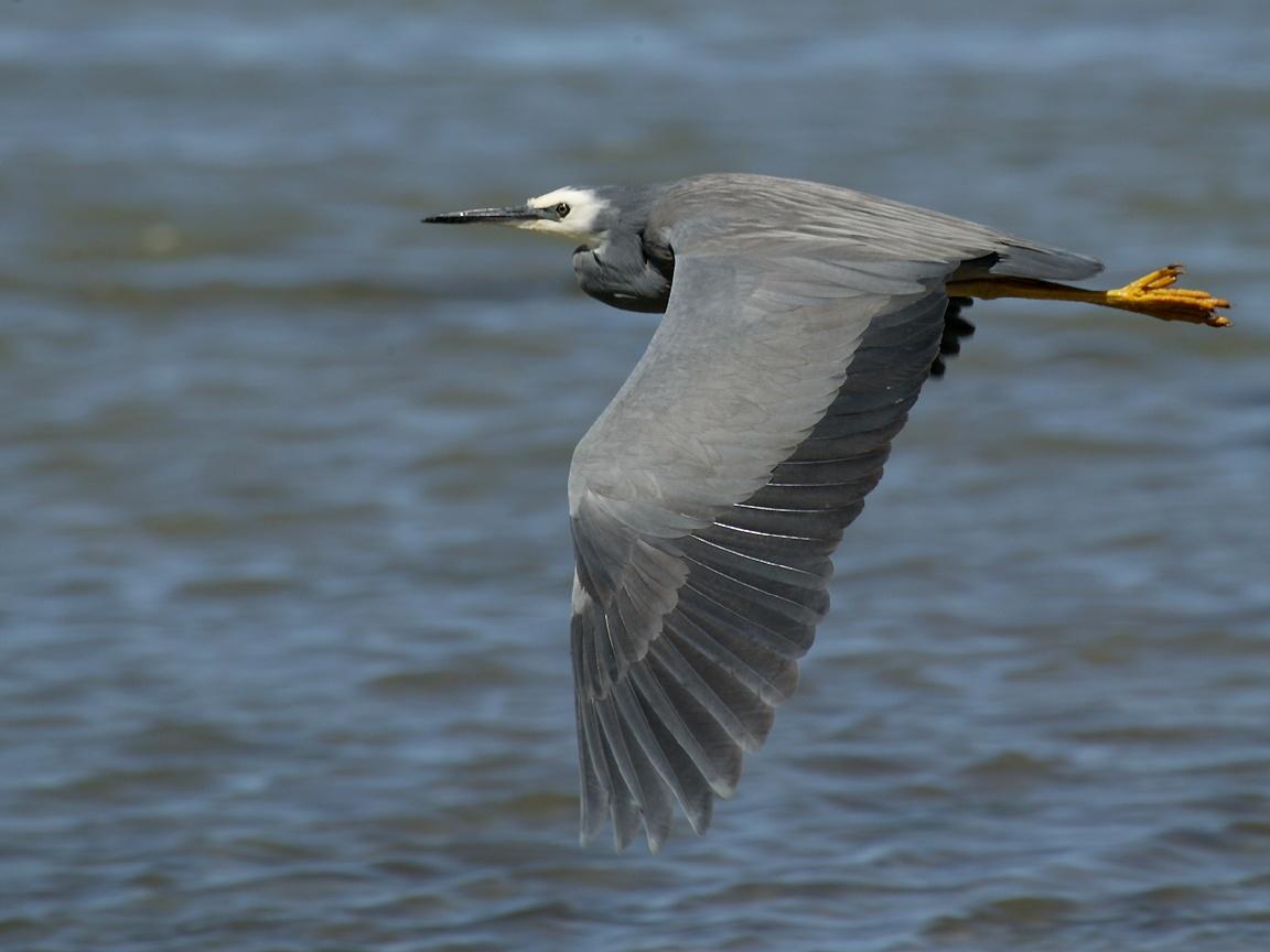 White herring bird - photo#10