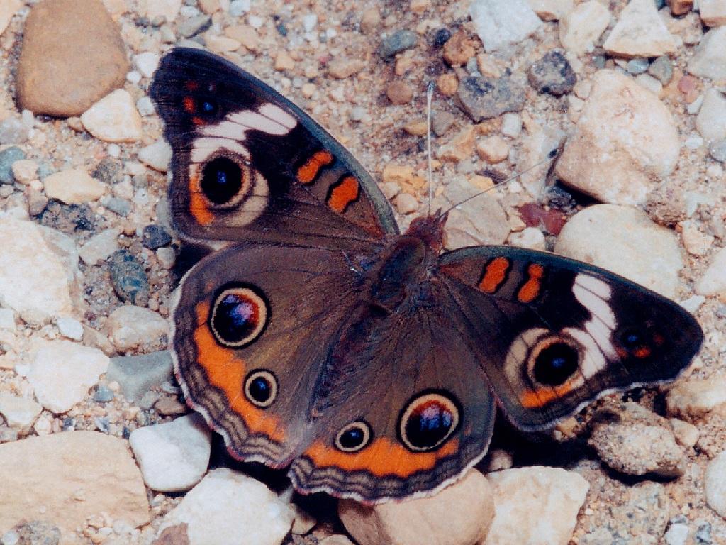 common buckeye Blue Buckeye Butterfly