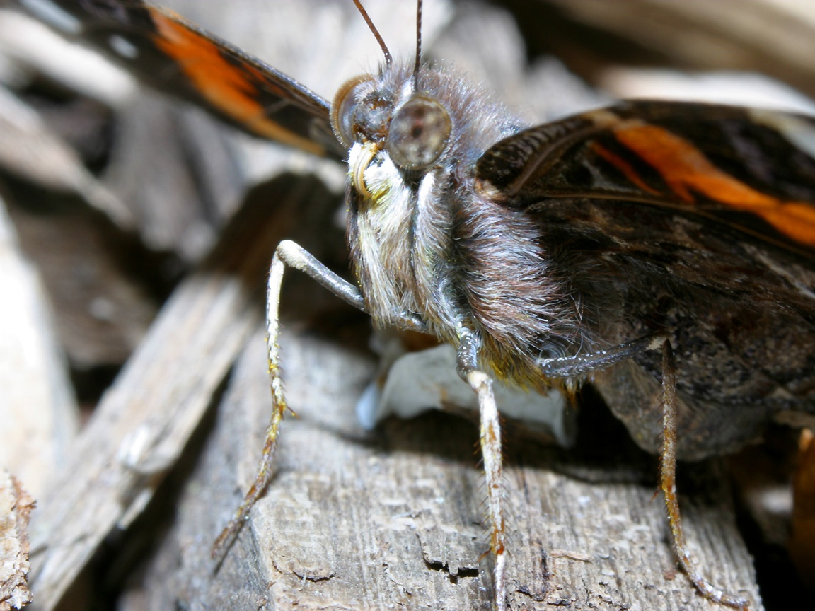 Red Admiral Butterfly Wallpapers, Red Admiral Butterfly
