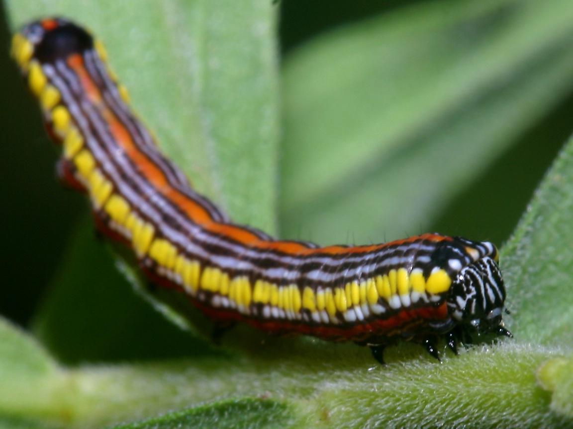 http://www.richard-seaman.com/Wallpaper/Nature/Caterpillars/BrownHoodedOwletMothCaterpillar11oClock.jpg