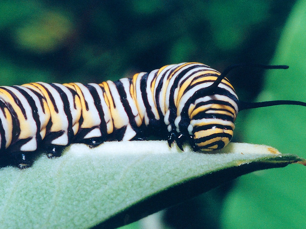 http://www.richard-seaman.com/Wallpaper/Nature/Caterpillars/MonarchCaterpillar.jpg